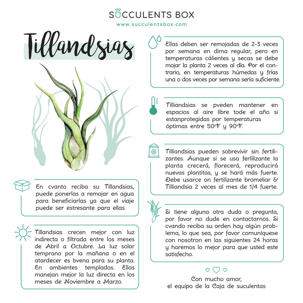 Air Plant Care Guide in Spanish, Tips for growing healthy Tillandsia Air Plants
