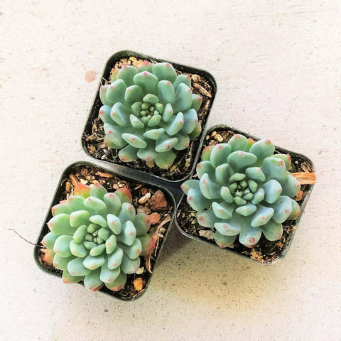 ECHEVERIA SEDEVERIA BLUE ELF