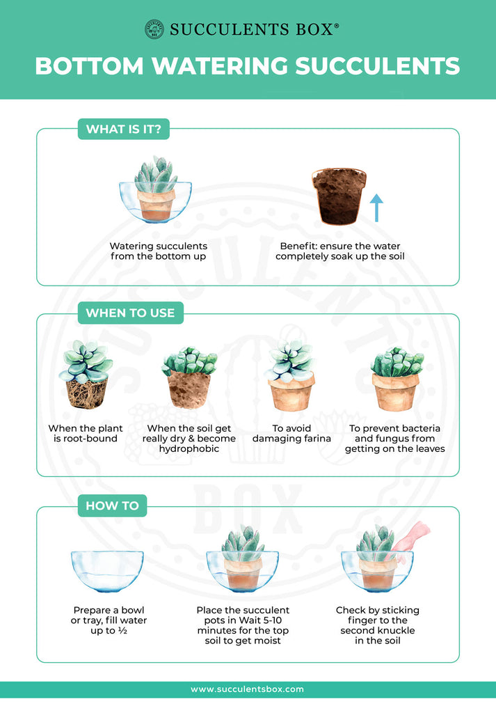 How and when you should bottom water your succulents