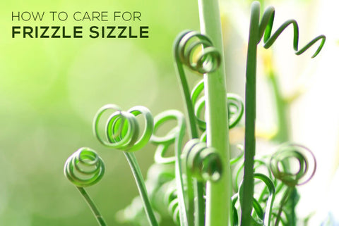 How to Care For Frizzle Sizzle - Albuca Spiralis