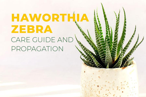HAWORTHIA ZEBRA IS THE BEST SUCCULENT FOR BEGINNER