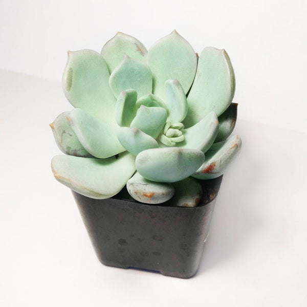 Graptoveria Moonglow - Succulent Subscription Box