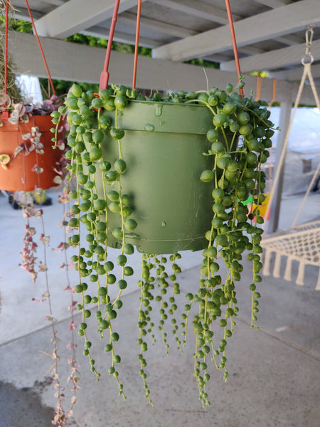 Trailing Senecio String of Pearls for Sale, Senecio Rowleyanus Succulent Plant, Hanging Succulent Plant, How to Care String of Pearls Plant
