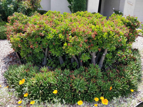 Adenium Jade plants, Fat Plants, Bonsai Plant, types of succulents