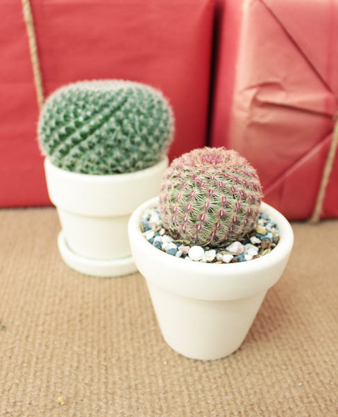 Types of Cactus Succulents, Cactus Gift Box, Cactus Decoration, How to care for Cactus, How to grow Cactus Indoor