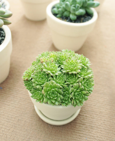 Sempervivum Jovibarba Succulent for sale, How to care Sempervivum Jovibarba Succulent, How to grow Sempervivum Jovibarba Succulent, Indoor Succulent Plant