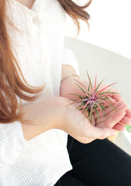 Benefits of air plants at work