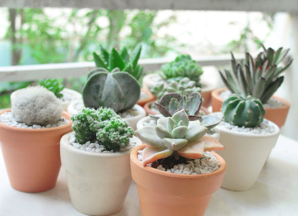 Light and temperature for succulents care