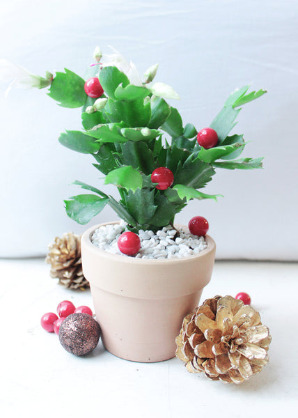 How To Care For Christmas Cactus.How To Take Care Of Christmas Cactus Succulents Box