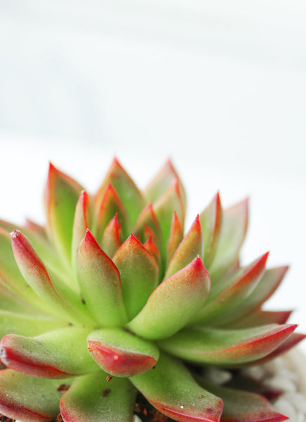 Echeveria Lipstick for sale