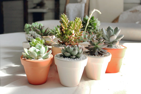 Healthy succulents - Succulents Box