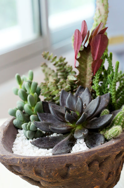 Black Succulents for Halloween Decor
