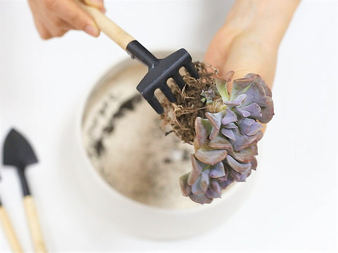 Prepare the succulents for Valentine Heart Decor
