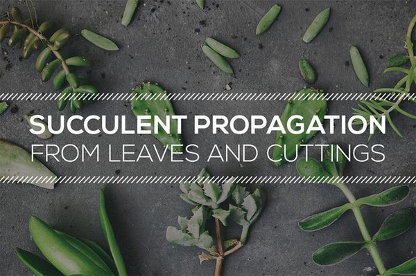 Tips on Succulent Propagation from Leaves and Cuttings, Soil Propagation for Succulents