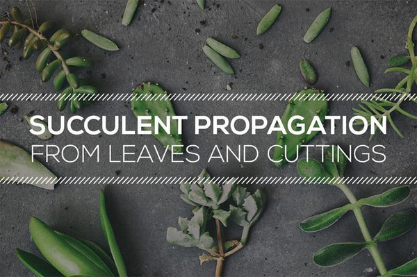 TIPS ON SUCCULENT PROPAGATION FROM LEAVES AND CUTTINGS