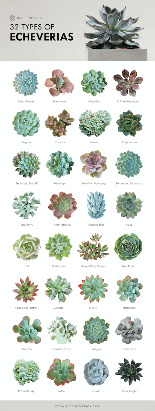 Echeveria succulent species