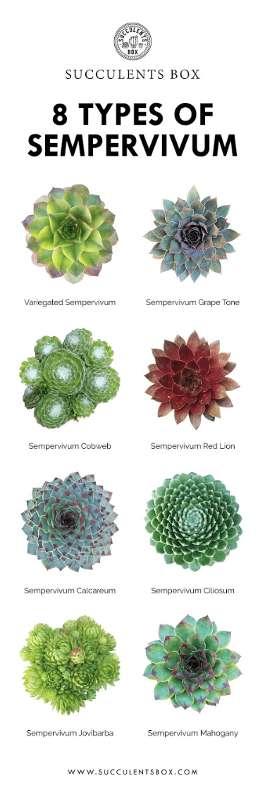Sempervivum succulent species