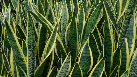 Snake Plant (Sansevieria trifasciata), are succulents poisonous to cats, are succulents toxic to cats, succulents safe for cats, Safe or toxic succulents for pets, Pictures of succulents poisonous to cats, Is echeveria toxic to cats, Is cactus poisonous to cats