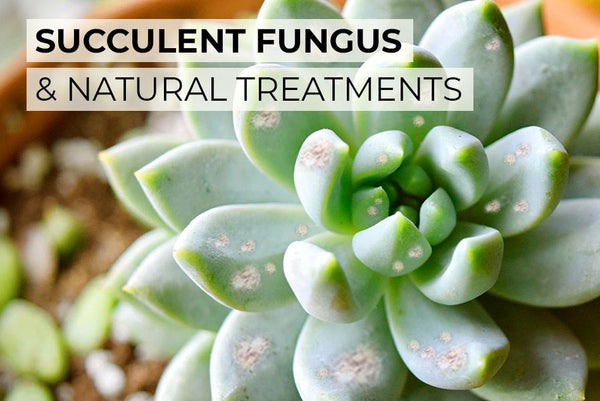 HOW TO TREAT SUCCULENT FUNGUS NATURALLY