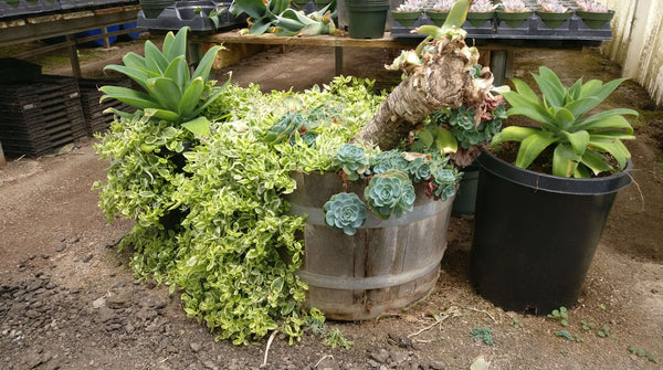 Types of creeping succulents, Sedum stonecrop succulents, Ground cover plants