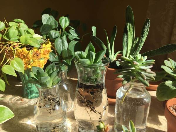 Water propagating stem cuttings for succulents