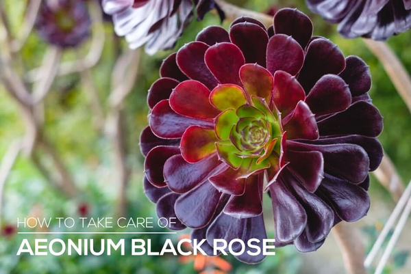 How to care for Aeonium Black Rose Succulent Plant, Black Rose Aeonium Care Guide
