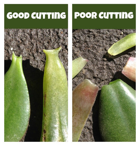 bad cutting vs. good cutting - succulent propagation