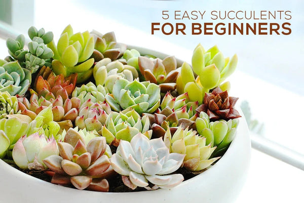 5 best succulents for beginners