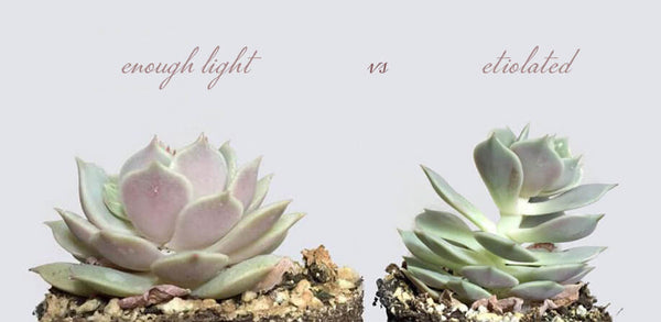 Etiolated Not enough Light Succulents