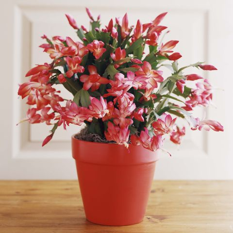 Christmas cactus, Thanksgiving cactus, Easter cactus plant
