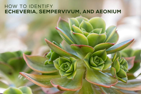 Identifying types of succulents with pictures, Succulent Identification Chart, How to Identify Succulents, Types of Succulents With Their Picture and Name