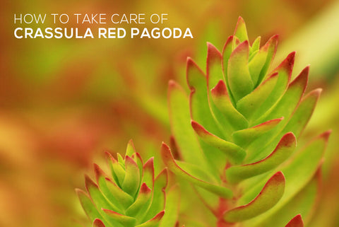 How to take care of Crassula Red Pagoda