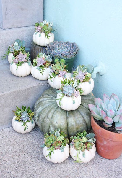 White Pumpkin Succulents for Thanksgiving, Thanksgiving Succulents with Pumpkin, Succulent Pumpkins for Thanksgiving Decor