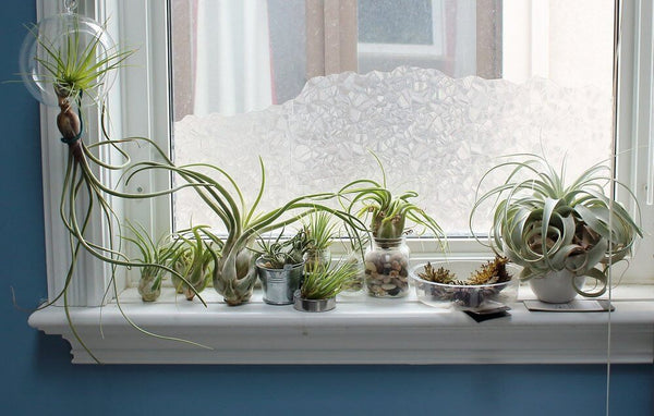 temperature FOR airplants