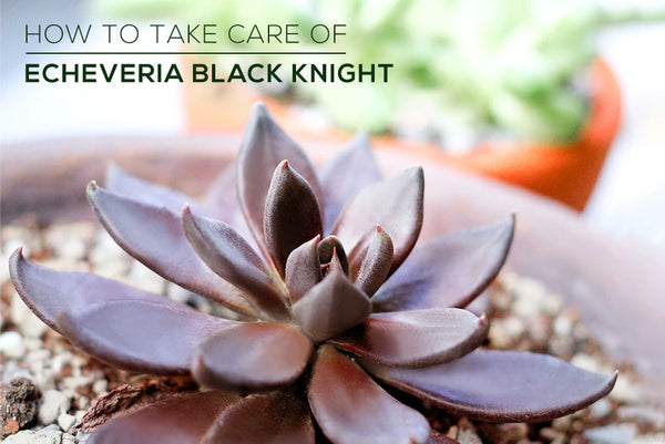 How to care for Echeveria Black Knight