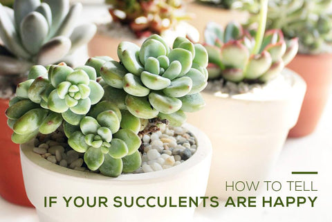 How to Tell If Your Succulents Are Happy