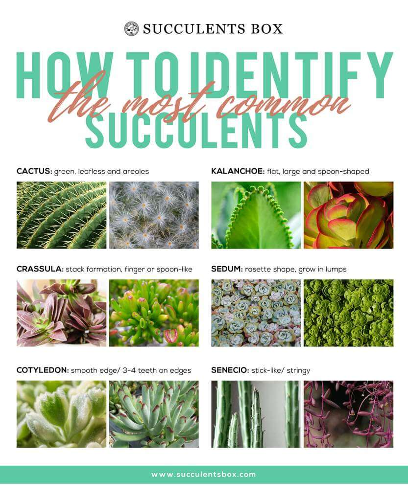 How to identify types of succulent plants
