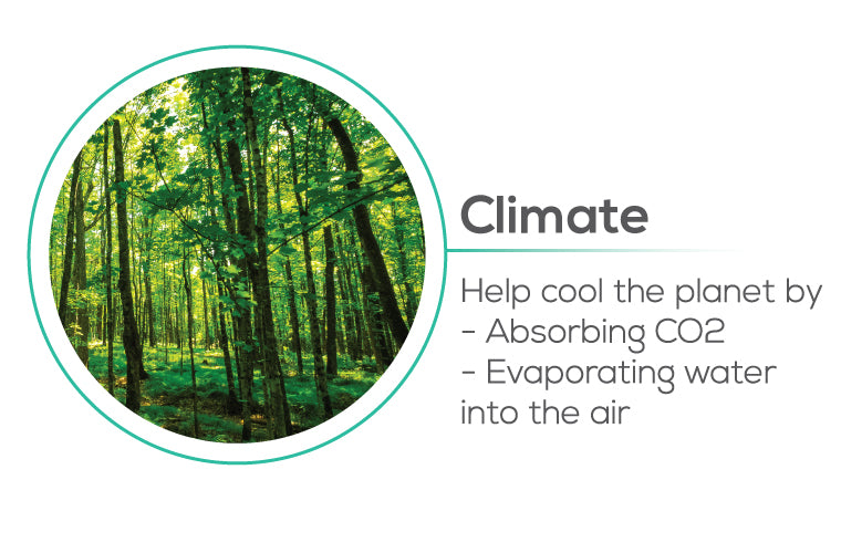 Planting trees impact to Climate - help cool the planet by absorbing CO2, evaporating water into the air