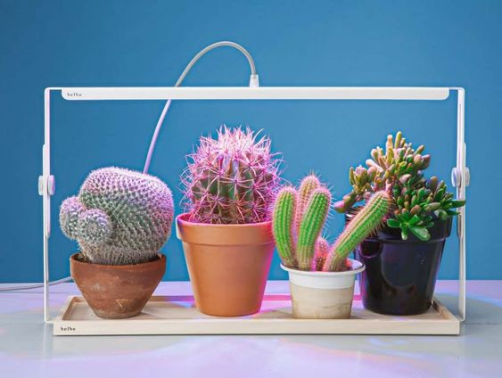 Light for cactus succulents, Light for indoor cactus plant, How to care for cacti