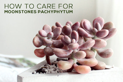 How to care for Moonstones Pachyphytum Oviferum