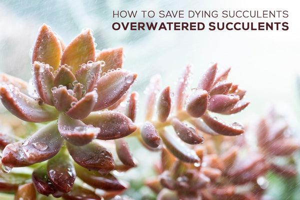 How to save dying succulents - Overwatered Succulents