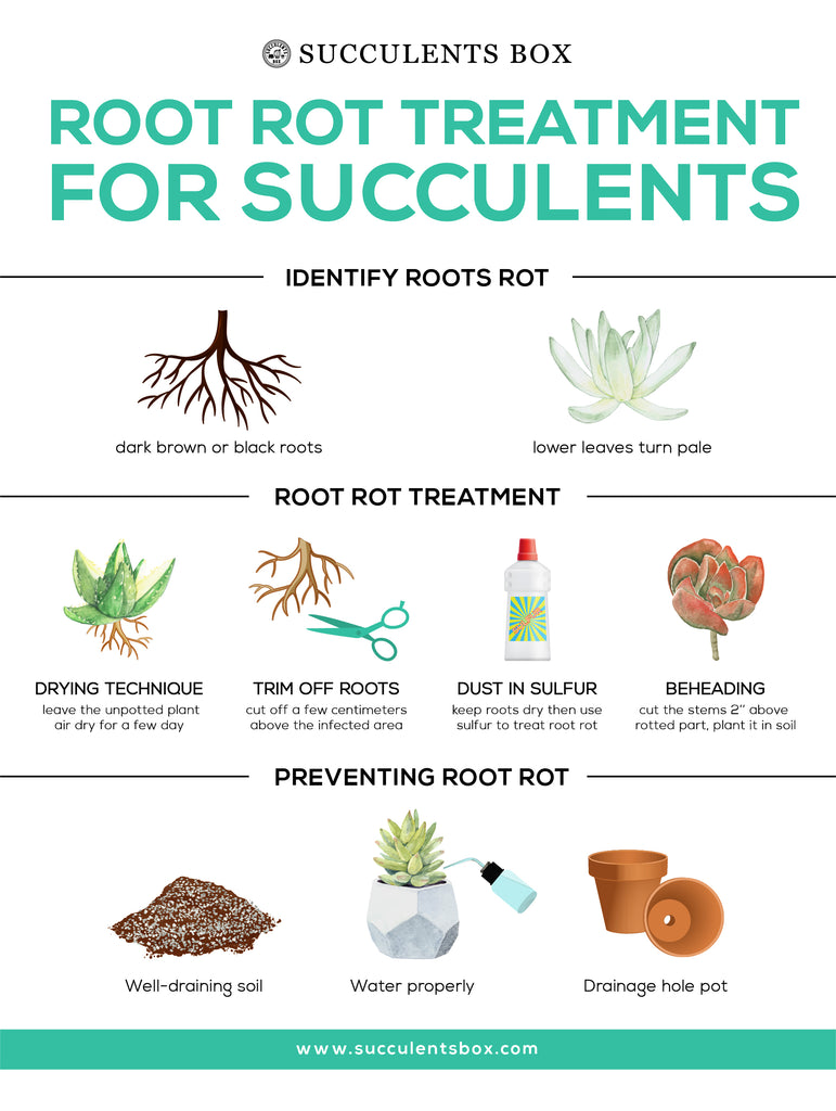 Root rot treatments for succulents