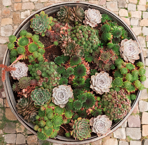 How to winterize your succulents