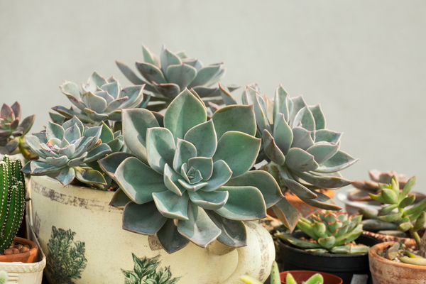 Why should you prune the succulents