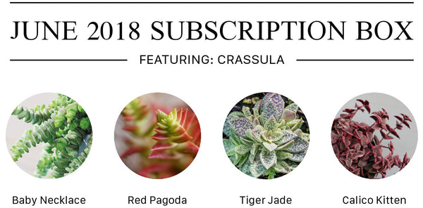 Succulents Subscription Box with Crassula Complete Care Guide