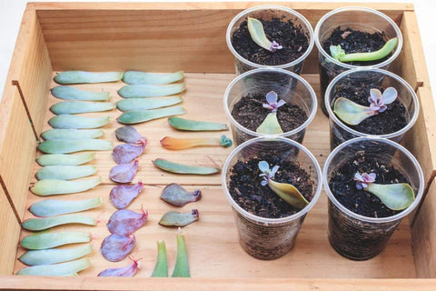 Place the leaves on a tray to propagate