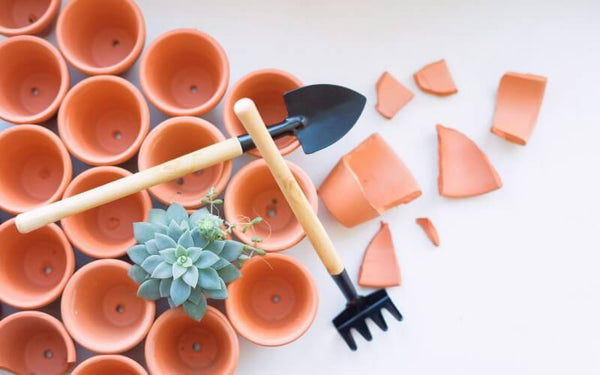 How to save an overwatered succulent, Signs of underwatered succulents, Underwatered vs overwatered succulent, How to fix overwatered succulent, How to revive a dead succulent, Succulent leaves soft and wrinkly