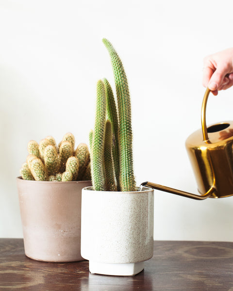 How to water cactus succulent, Cactus watering, Tips for watering cactus plant