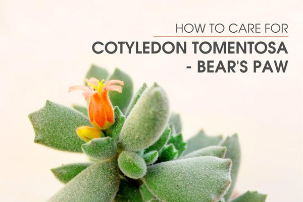 How to care for Cotyledon Tomentosa - Bear's Paw