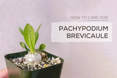 How to care for Pachypodium Brevicaule